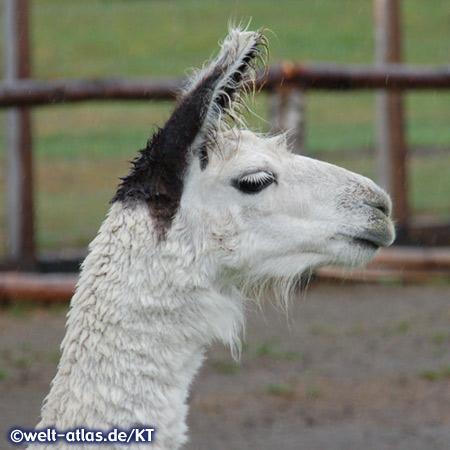 Auffällig bei den Lamas ist immer die stolze Kopfhaltung dieser perfekten Lasttiere, es gehört zur Familie der Kamele
