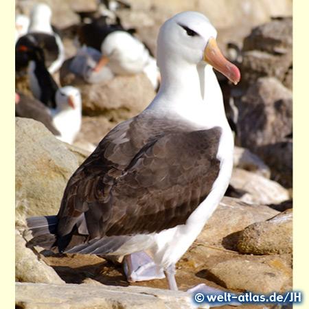 Albatros, Falklandinseln