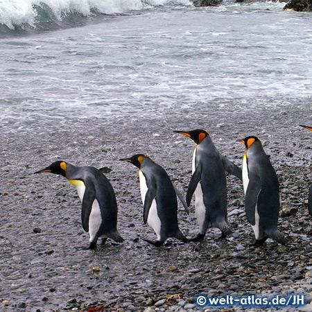King Penguins of South Georgia
